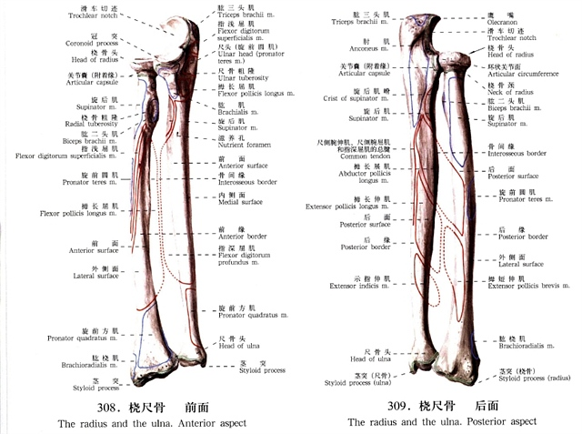 尺桡骨解剖概述