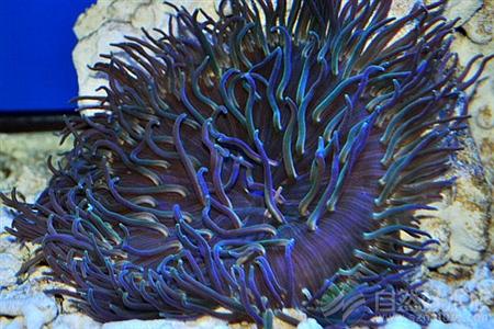种属:珊瑚,腔肠动物门