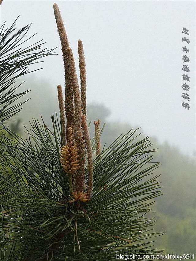 松树在春天里生机勃勃很性感