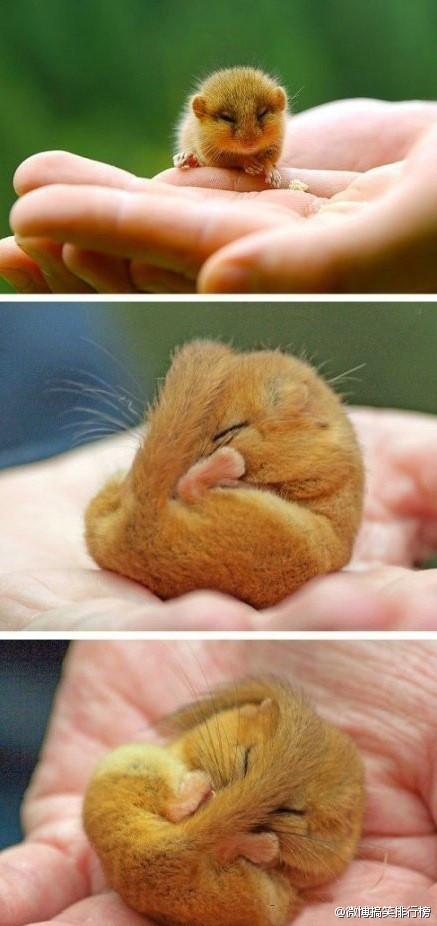 英国的重点保护濒危动物:榛睡鼠.很可爱吧.[抱抱]「转」